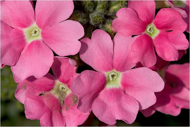 floricele cu noroi pe ele