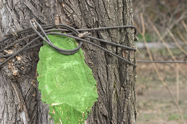 ranjet verde de herastrau