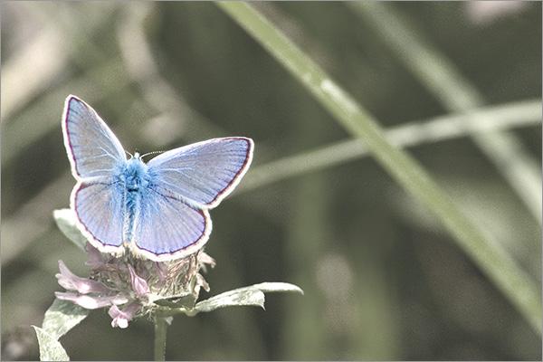 flutura albastrica si iubirea gastrica