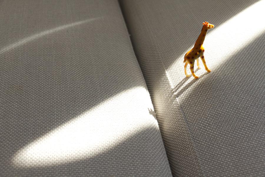 unde se duc girafele cand se duc?